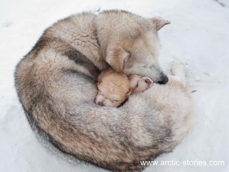 Alaskan Malamute Puppies At 45c 187 Arctic Stories