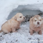 Alaskan malamute puppies at -45c